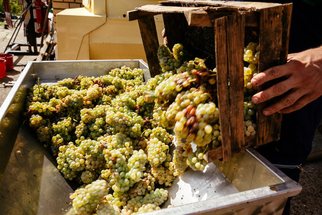 Moscato Bianco Grapes being put for fermentation